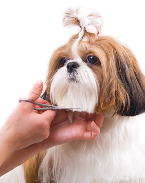 shih tzu trimming